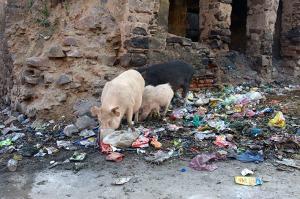 Djuren hittar oftast något att äta bland allt skräp. Neemrana (Nikon D3)